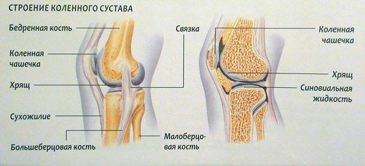 Из чего состоит коленный сустав