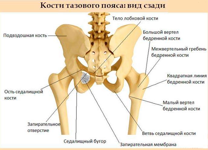 Местонахождение подвздошной кости