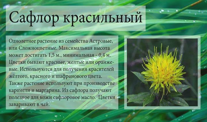 Растение сафлор