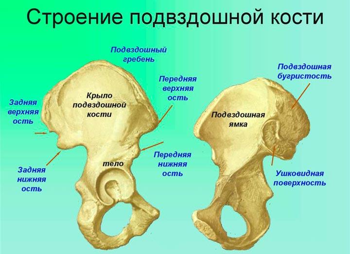 Строение и состав подвздошной кости
