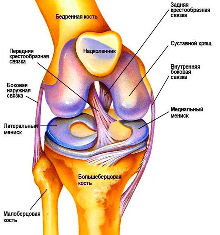Строение коленной чашки