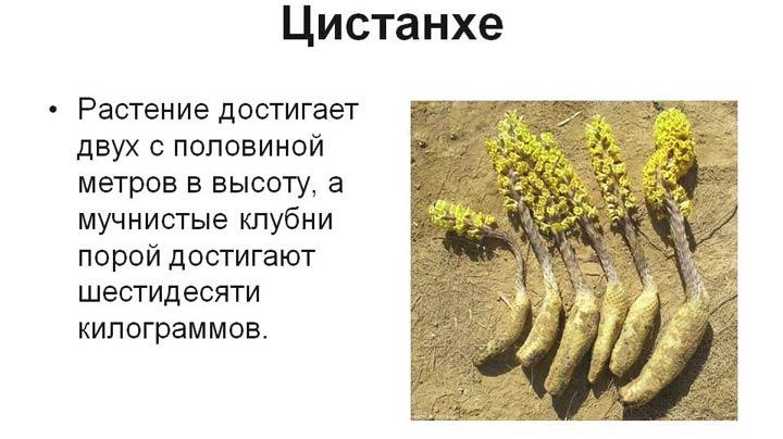 Растение цистанхе