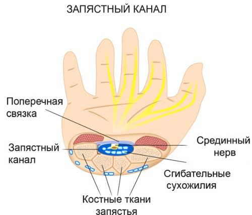 Схема строения кисти