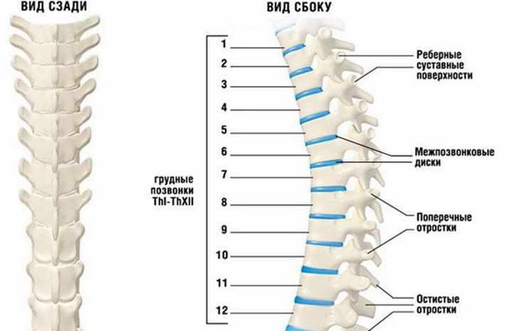 Строение позвоночных костей