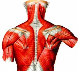 Строение спинных мышц