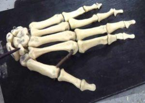Макет скелета руки