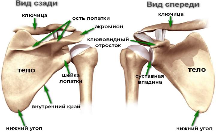 Кости плечевого комплекса
