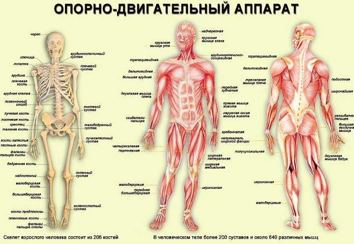 Изображение - Акула мазь для суставов Zabolevaniya-oporno-dvigatelnogo-apparata