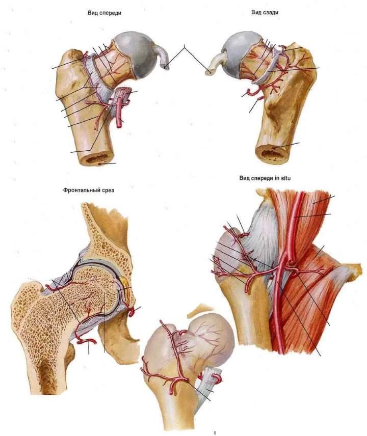 Устройство тазобедренного сустава