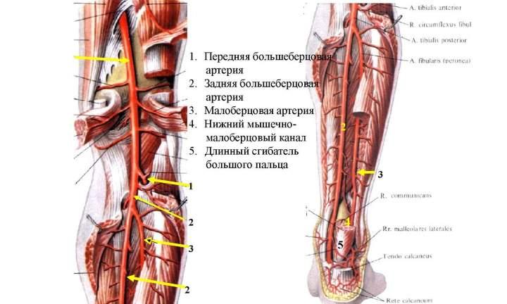 Анатомия стопы. Кровь