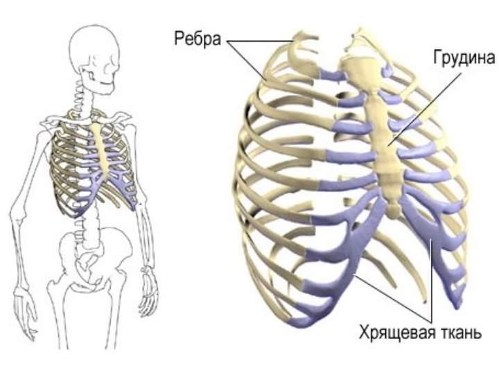 Скелет груди