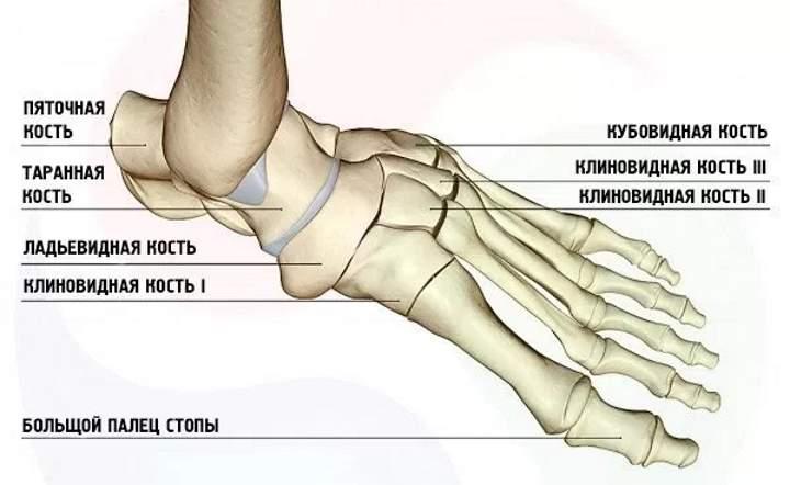 Анатомия стопы. Кости