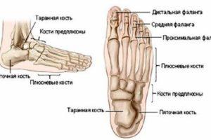 Скелет стопы