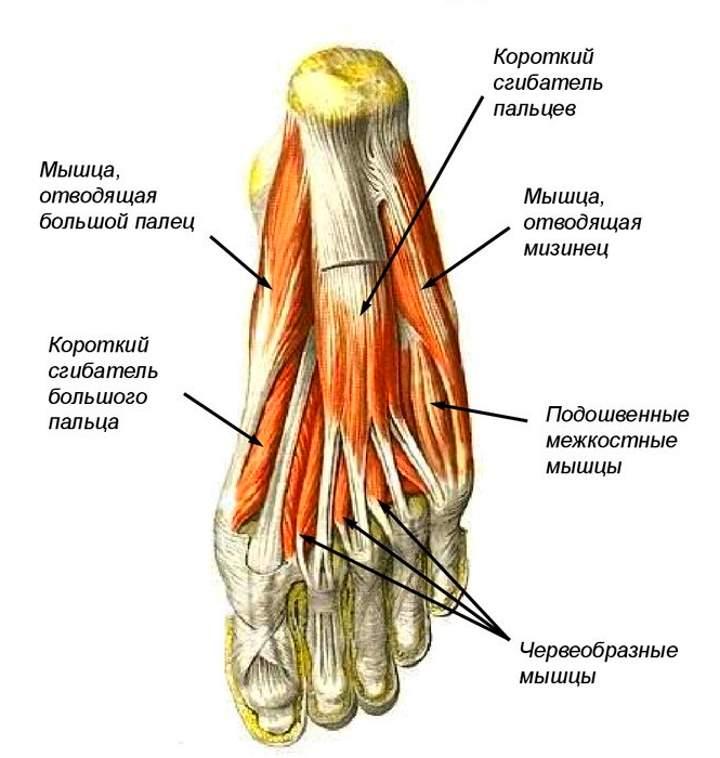 Анатомия стопы. Мышцы