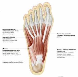 Как устроены на стопе мышцы