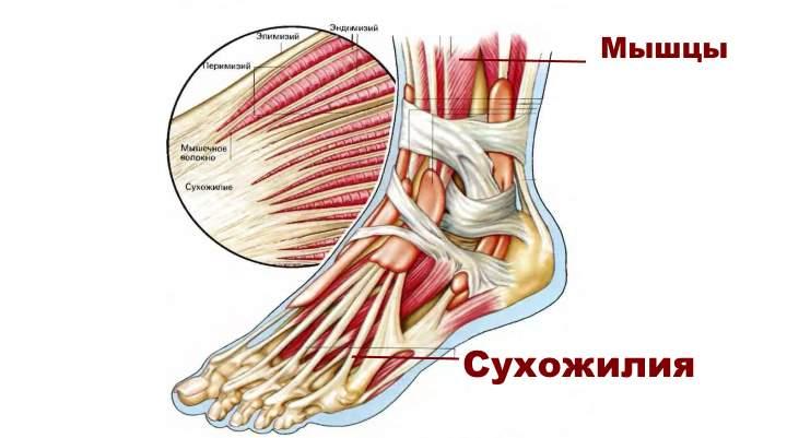 Анатомия стопы. Связки